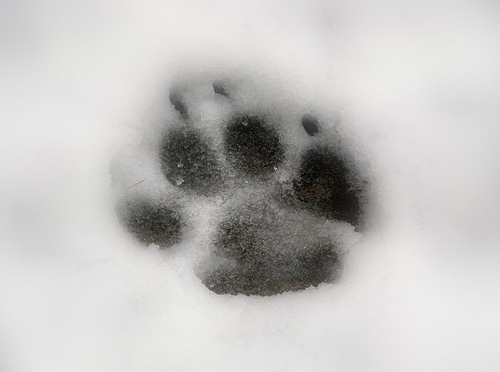winter paw